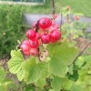 Ripening redcurrants