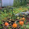Pumpkins at Cultivation Place